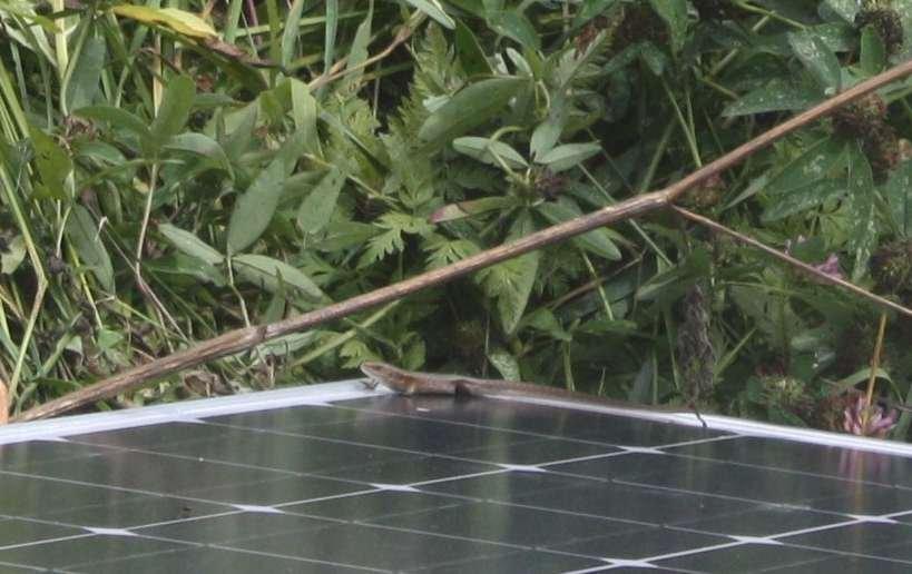 Ящерицам тоже нужна солнечная энергия)))